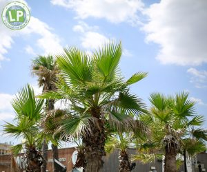 Rimini - Palmen vor dem Coconut